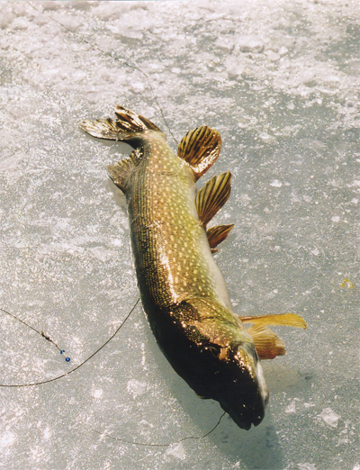 how to catch northern pike ice fishing